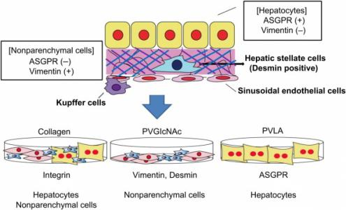 Interactions of vimentin- or desmin-expressing liver cells with N-acetylglucosamine-bearing polymers.