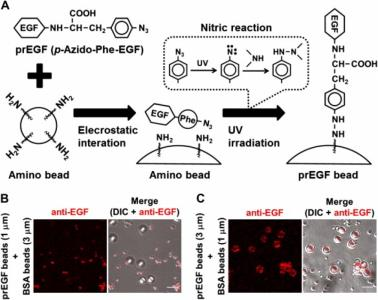 Dynamic chemotactic response of fibroblasts to local stimulation using EGF-immobilized microbeads.
