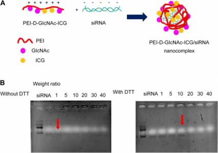 Imaging and therapy of liver fibrosis using bioreducible polyethylenimine/siRNA complexes conjugated with N-acetylglucosamine as a targeting moiety.
